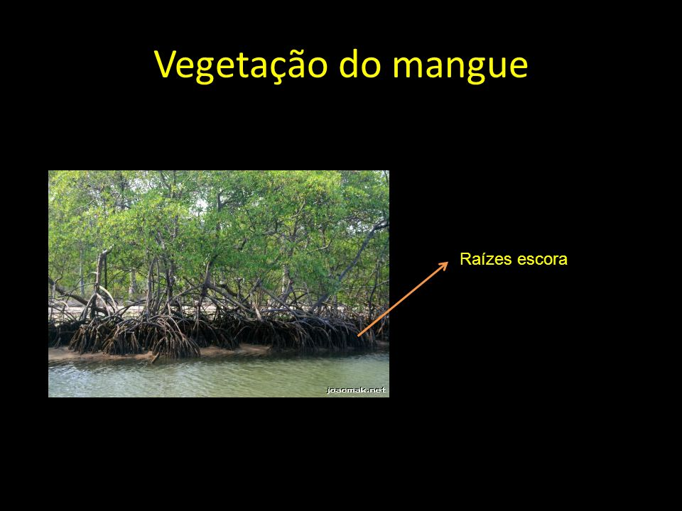 Vegetação do mangue Raízes escora