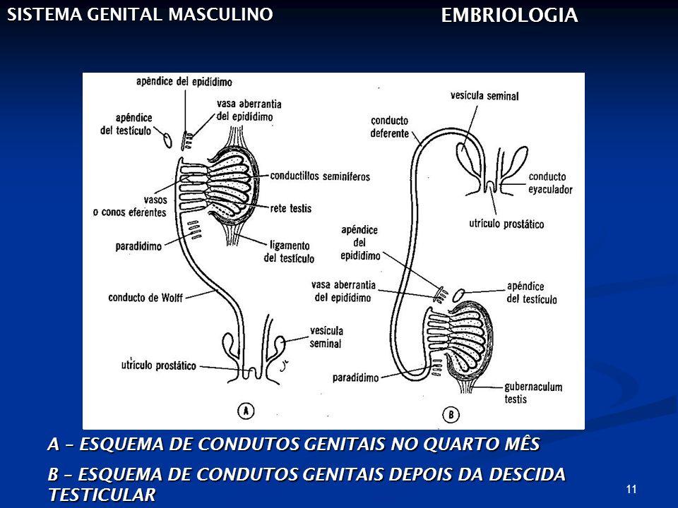 11 SISTEMA GENITAL MASCULINO EMBRIOLOGIA A – ESQUEMA DE CONDUTOS GENITAIS NO QUARTO MÊS B – ESQUEMA DE CONDUTOS GENITAIS DEPOIS DA DESCIDA TESTICULAR