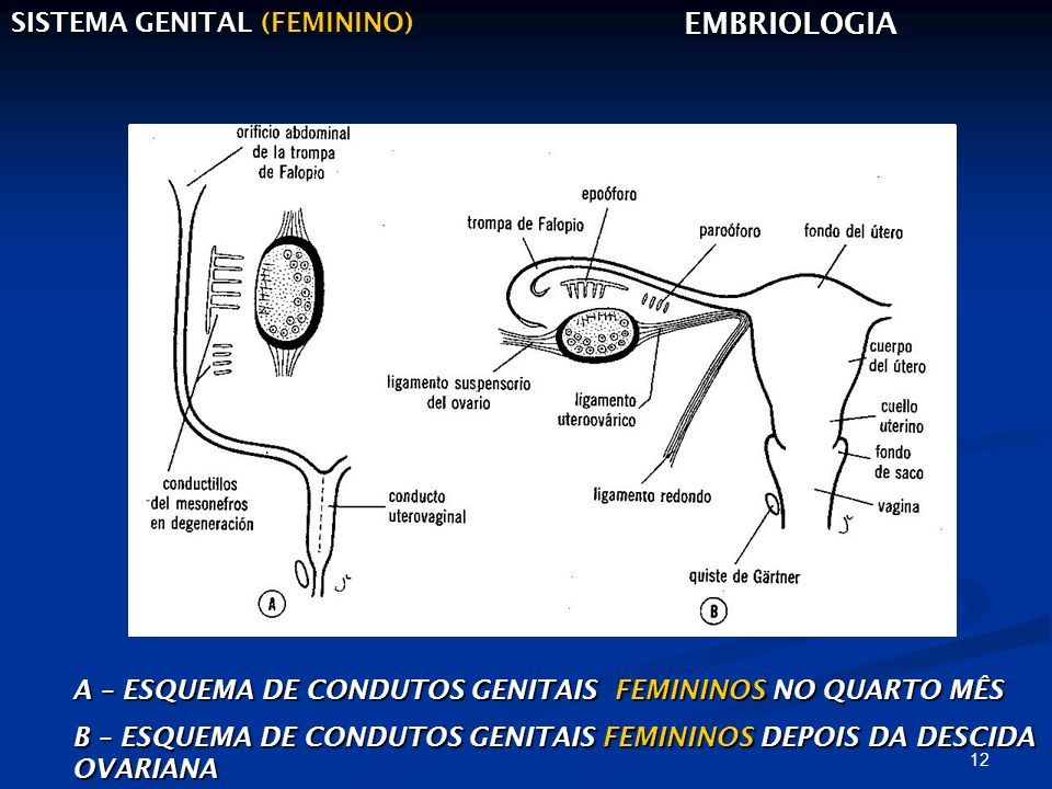 12 SISTEMA GENITAL (FEMININO) EMBRIOLOGIA A – ESQUEMA DE CONDUTOS GENITAIS FEMININOS NO QUARTO MÊS B – ESQUEMA DE CONDUTOS GENITAIS FEMININOS DEPOIS D