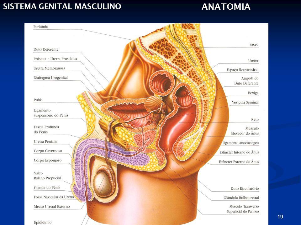 19 SISTEMA GENITAL MASCULINO ANATOMIA