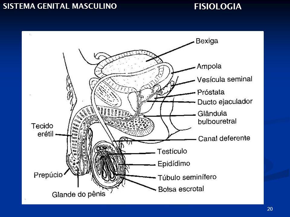 20 SISTEMA GENITAL MASCULINO FISIOLOGIA