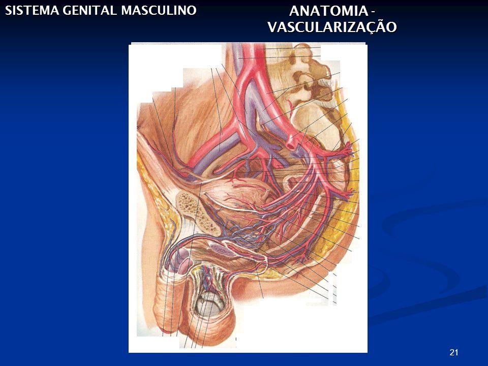 21 SISTEMA GENITAL MASCULINO ANATOMIA - VASCULARIZAÇÃO