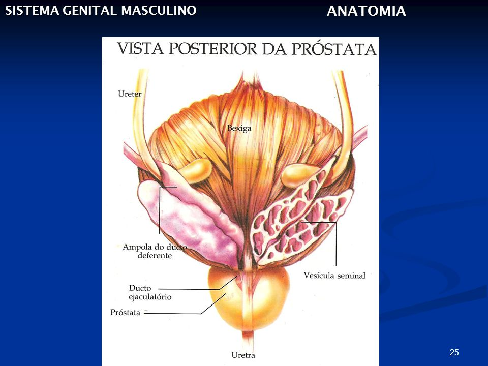 25 SISTEMA GENITAL MASCULINO ANATOMIA