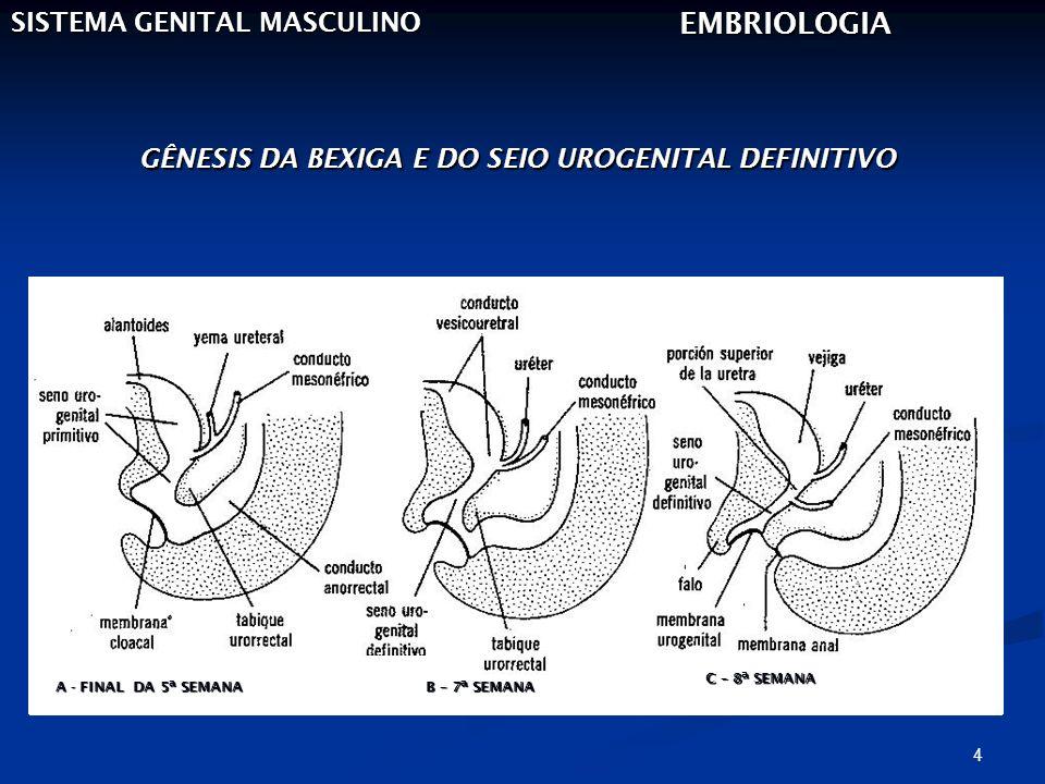 4 SISTEMA GENITAL MASCULINO EMBRIOLOGIA GÊNESIS DA BEXIGA E DO SEIO UROGENITAL DEFINITIVO A - FINAL DA 5ª SEMANA B – 7ª SEMANA C – 8ª SEMANA