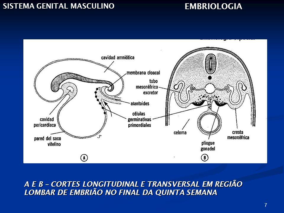 8 SISTEMA GENITAL MASCULINO EMBRIOLOGIA A – CORTE TRANSVERSAL DE TESTÍCULO NA OITAVA SEMANA B - ESQUEMA DE TESTÍCULO E CONDUTOS GENITAIS NO QUARTO MÊS