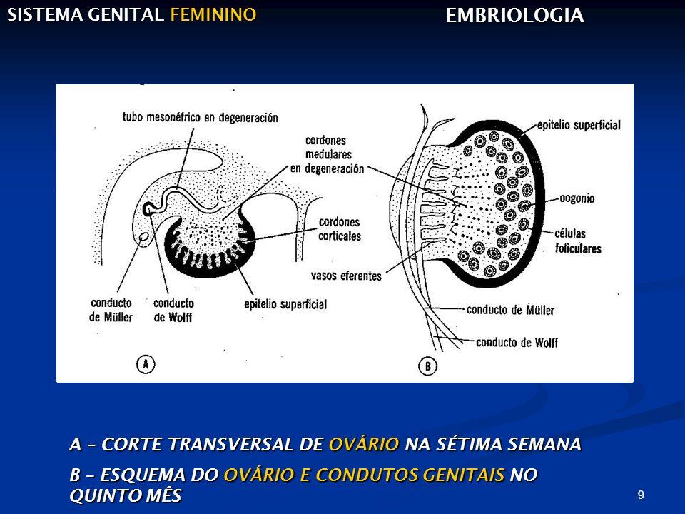9 SISTEMA GENITAL FEMININO EMBRIOLOGIA A – CORTE TRANSVERSAL DE OVÁRIO NA SÉTIMA SEMANA B – ESQUEMA DO OVÁRIO E CONDUTOS GENITAIS NO QUINTO MÊS