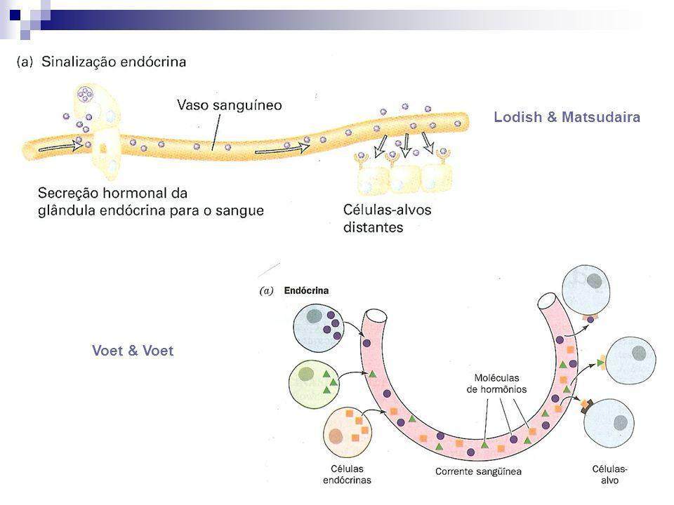 Hormônios parácrinos (ou mediadores locais) * Surgem de uma célula; * Viajam a uma distância relativamente pequena; * Interagem com os seus receptores cognatos em outra céll.
