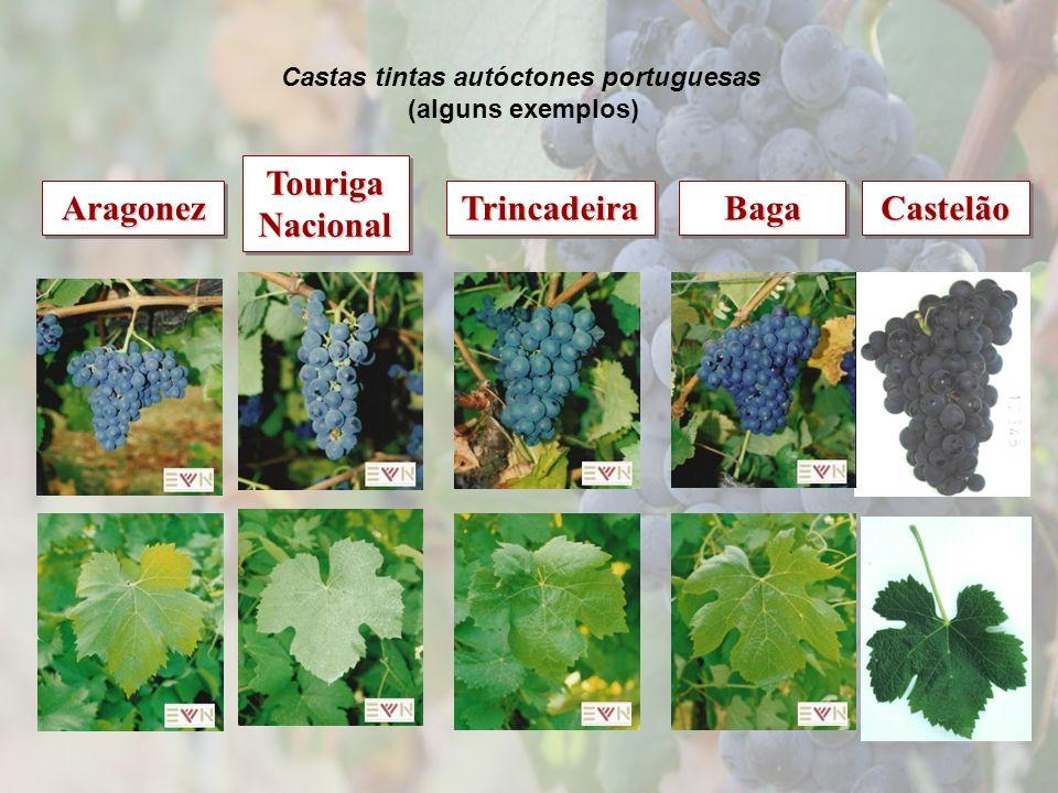 Touriga Nacional TrincadeiraTrincadeiraAragonezAragonezCastelãoCastelãoBagaBaga Castas tintas autóctones portuguesas (alguns exemplos)