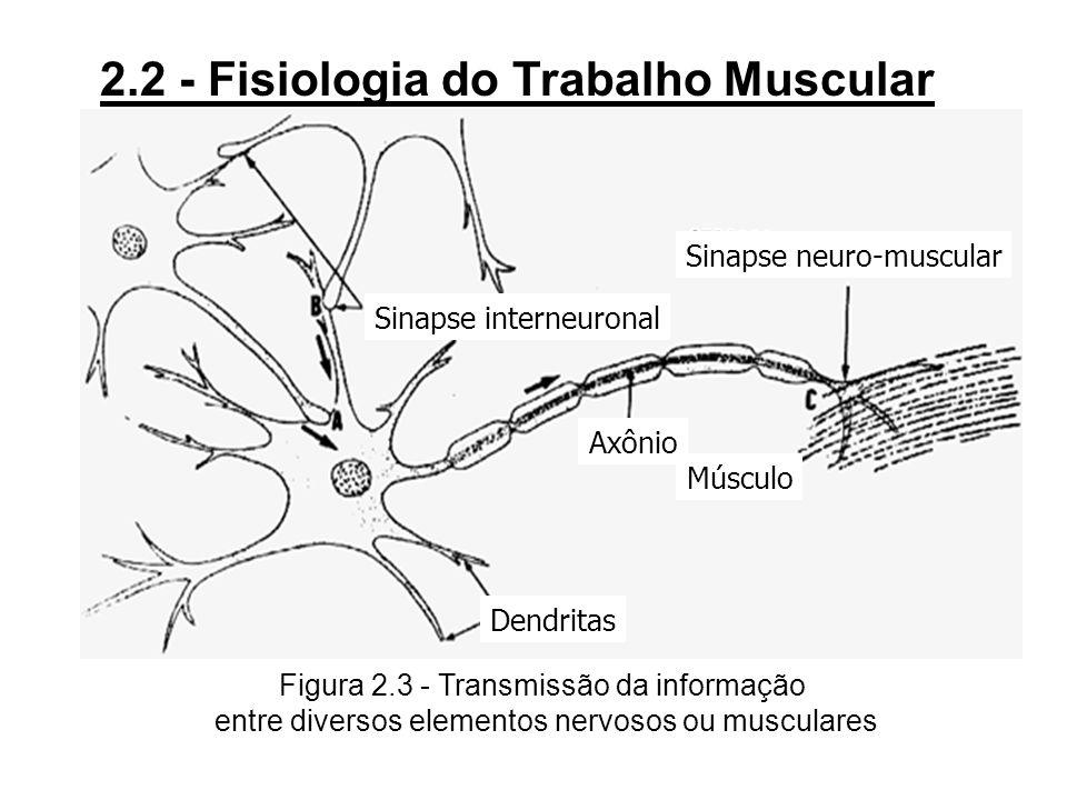3Os movimentos são comandados pelos centros motores corticais com uma frequência de influxo que leva a uma resposta do músculo em tétanos perfeitos (4