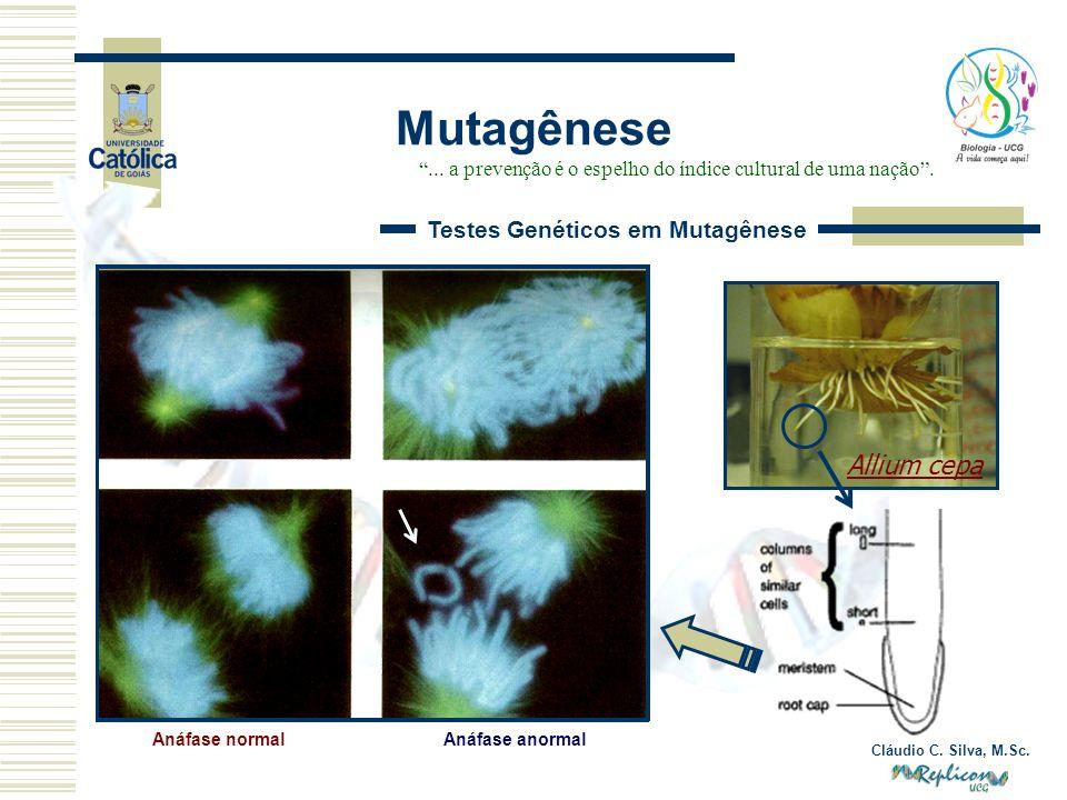 Cláudio C. Silva, M.Sc. Mutagênese... a prevenção é o espelho do índice cultural de uma nação. Testes Genéticos em Mutagênese Anáfase anormal Allium c