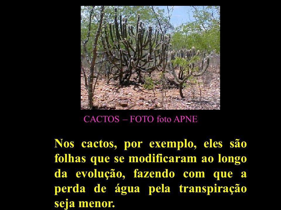CACTOS – FOTO foto APNE Nos cactos, por exemplo, eles são folhas que se modificaram ao longo da evolução, fazendo com que a perda de água pela transpi