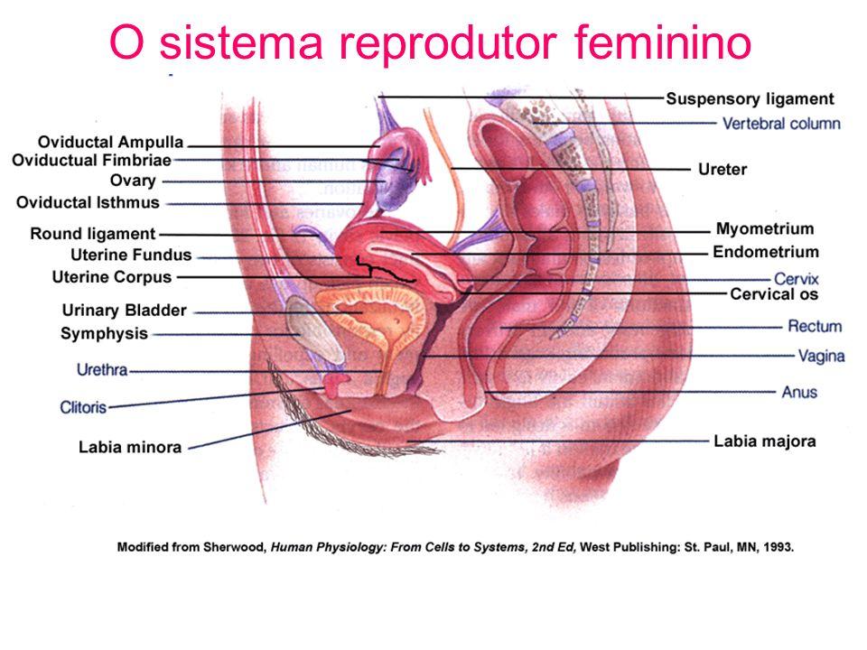 O sistema reprodutor feminino