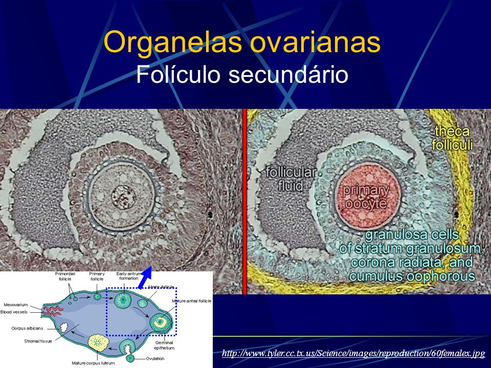 Organelas ovarianas Folículo secundário http://www.tyler.cc.tx.us/Science/images/reproduction/60femalex.jpg