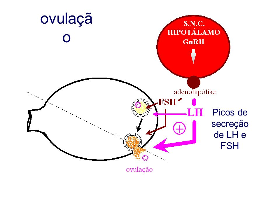 ovulaçã o Picos de secreção de LH e FSH