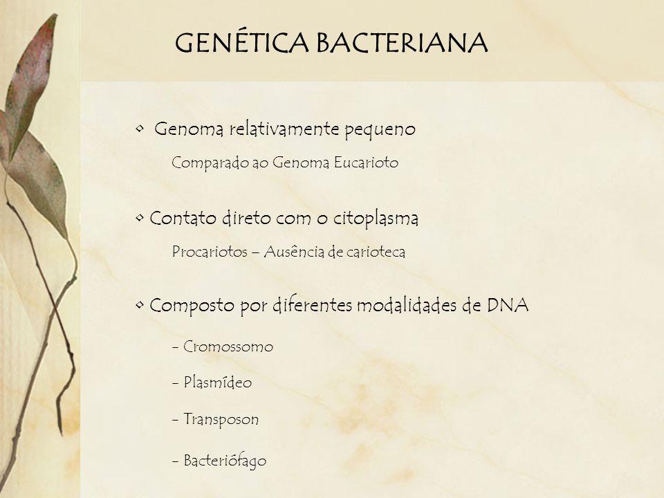 GENÉTICA BACTERIANA Genoma relativamente pequeno Comparado ao Genoma Eucarioto Contato direto com o citoplasma Procariotos – Ausência de carioteca Com