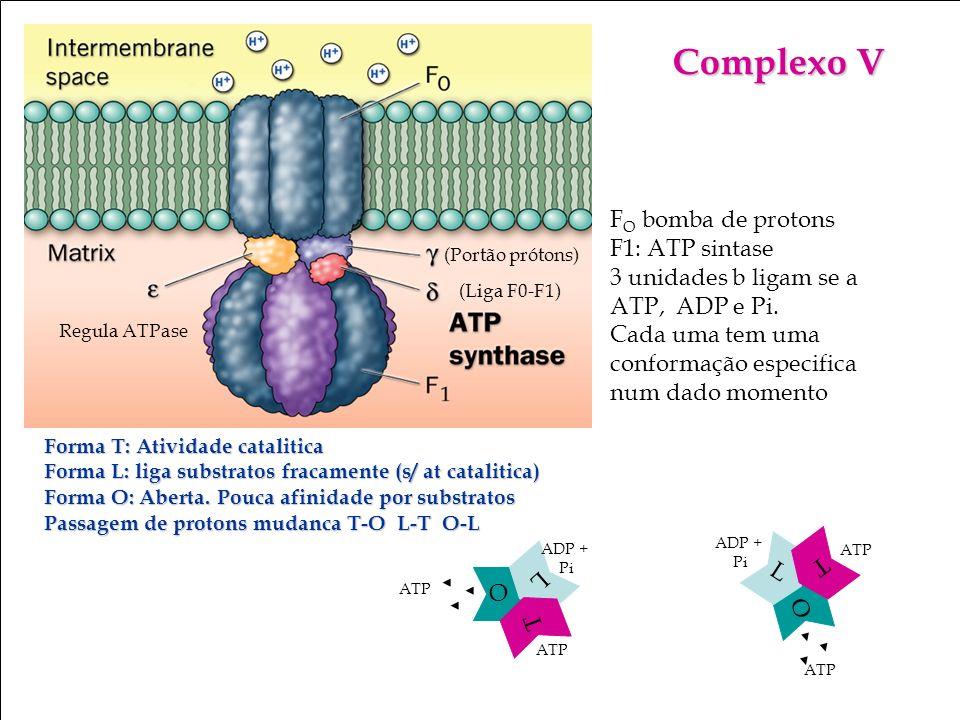Bioquímica II – Prof. Júnior Complexo V F O bomba de protons F1: ATP sintase 3 unidades b ligam se a ATP, ADP e Pi. Cada uma tem uma conformação espec