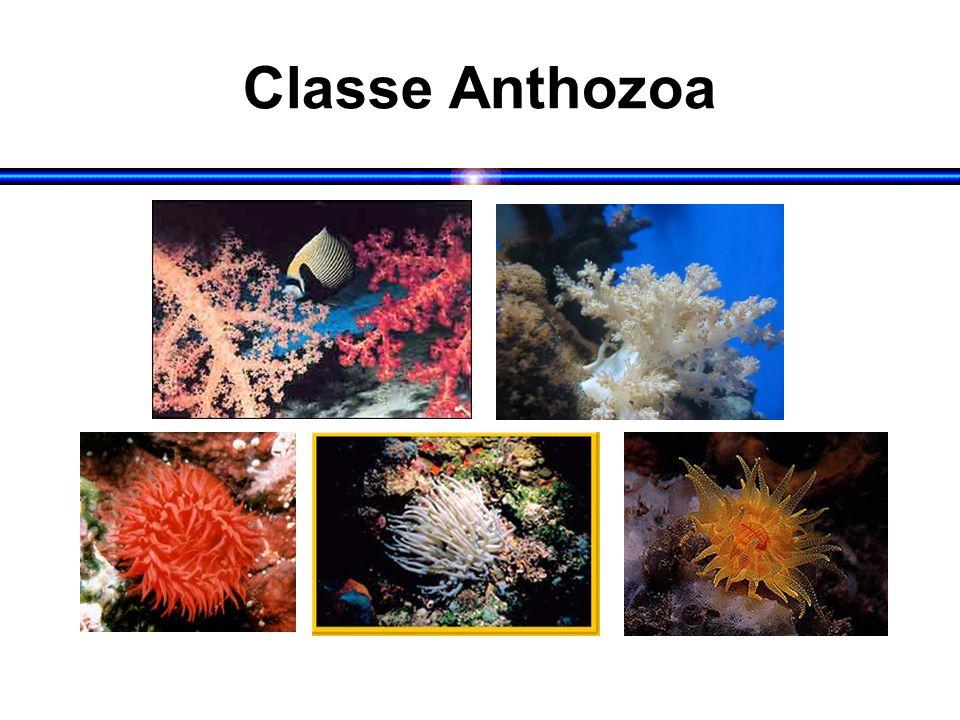 Classe Anthozoa