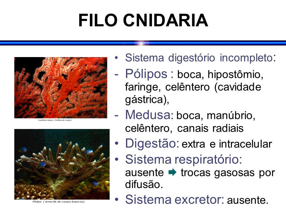 FILO CNIDARIA Sistema digestório incompleto : -Pólipos : boca, hipostômio, faringe, celêntero (cavidade gástrica), -Medusa : boca, manúbrio, celêntero