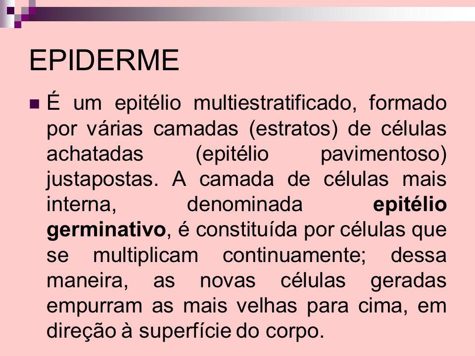 EPIDERME É um epitélio multiestratificado, formado por várias camadas (estratos) de células achatadas (epitélio pavimentoso) justapostas. A camada de