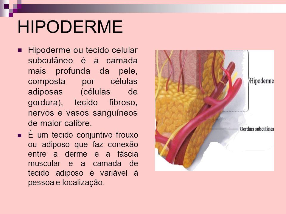 HIPODERME Hipoderme ou tecido celular subcutâneo é a camada mais profunda da pele, composta por células adiposas (células de gordura), tecido fibroso,