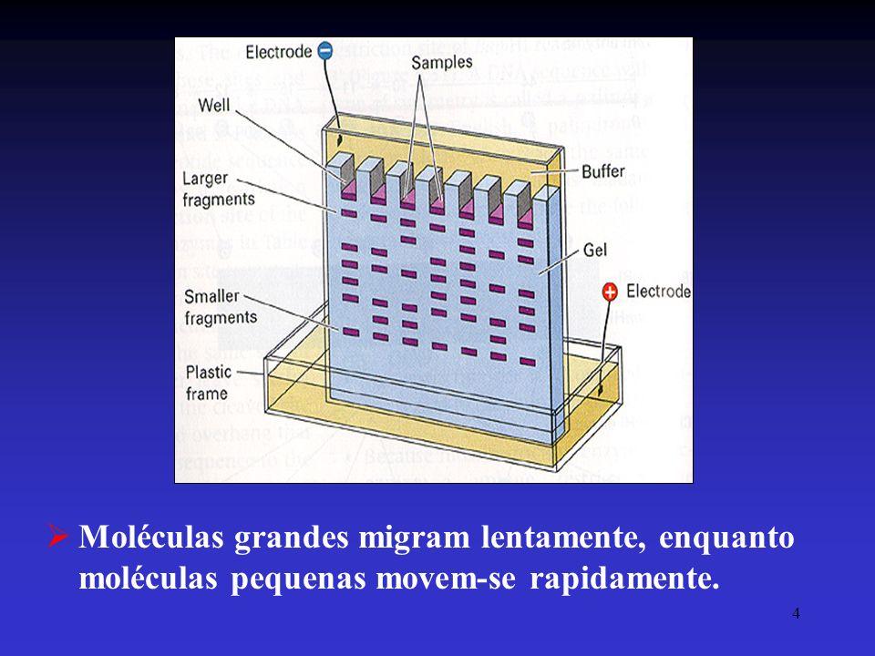 4 Moléculas grandes migram lentamente, enquanto moléculas pequenas movem-se rapidamente.