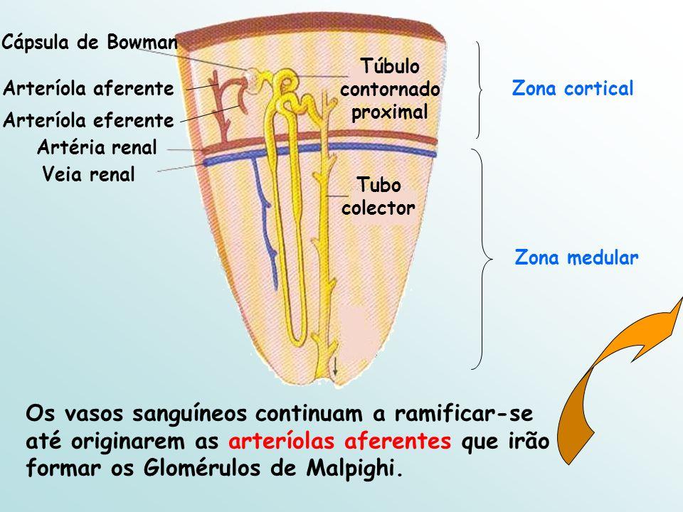 Cápsula de Bowman Artéria renal Veia renal Tubo colector Túbulo contornado proximal Zona medular Zona corticalArteríola aferente Os vasos sanguíneos continuam a ramificar-se até originarem as arteríolas aferentes que irão formar os Glomérulos de Malpighi.
