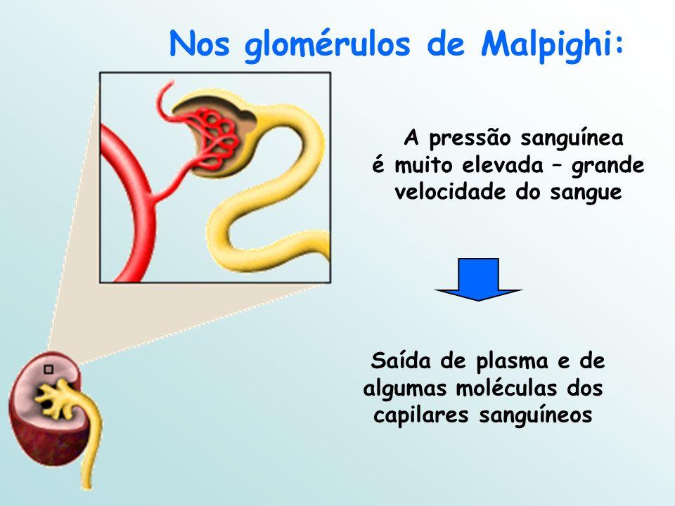 A pressão sanguínea é muito elevada – grande velocidade do sangue Nos glomérulos de Malpighi: Saída de plasma e de algumas moléculas dos capilares sanguíneos