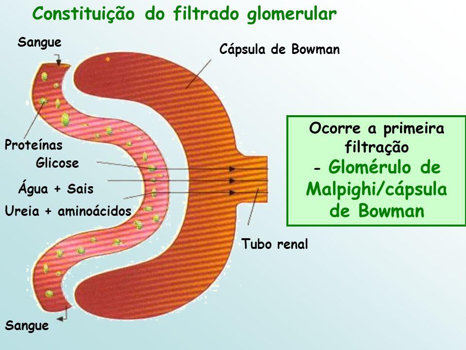 Constituição do filtrado glomerular Ocorre a primeira filtração - Glomérulo de Malpighi/cápsula de Bowman Proteínas Sangue Tubo renal Cápsula de Bowma