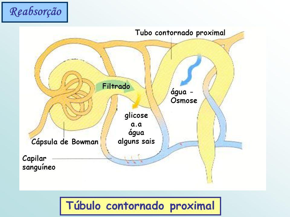 Reabsorção Túbulo contornado proximal Filtrado glicose a.a água alguns sais Capilar sanguíneo Cápsula de Bowman Tubo contornado proximal água - Osmose