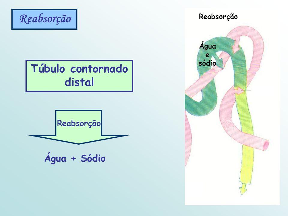 Túbulo contornado distal Reabsorção Água + Sódio Reabsorção Água e sódio