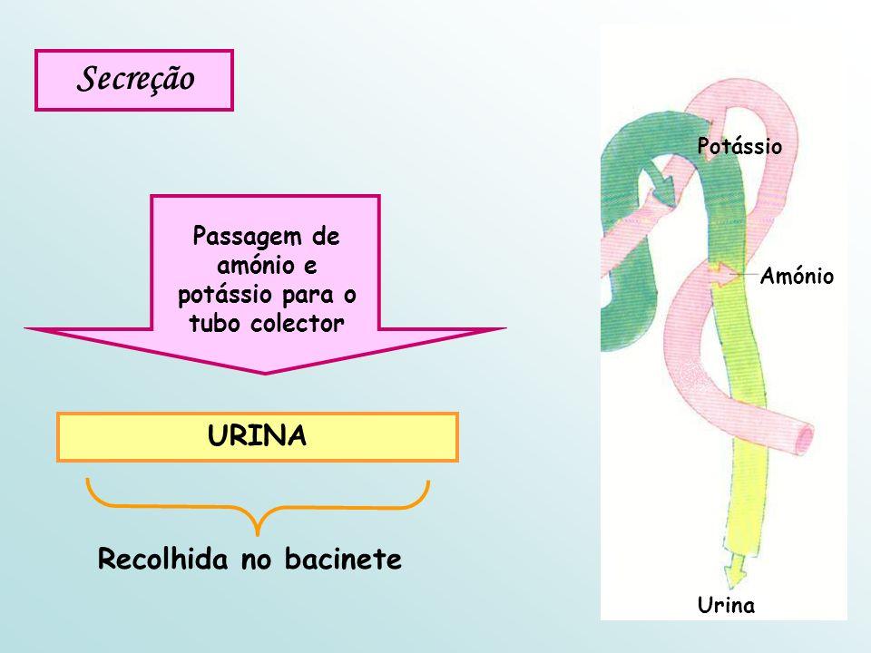 Secreção Passagem de amónio e potássio para o tubo colector URINA Recolhida no bacinete Amónio Potássio Urina