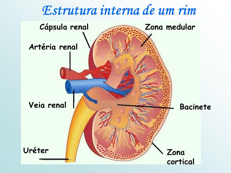 Bacinete Artéria renal Veia renal Uréter Zona cortical Cápsula renalZona medular Estrutura interna de um rim