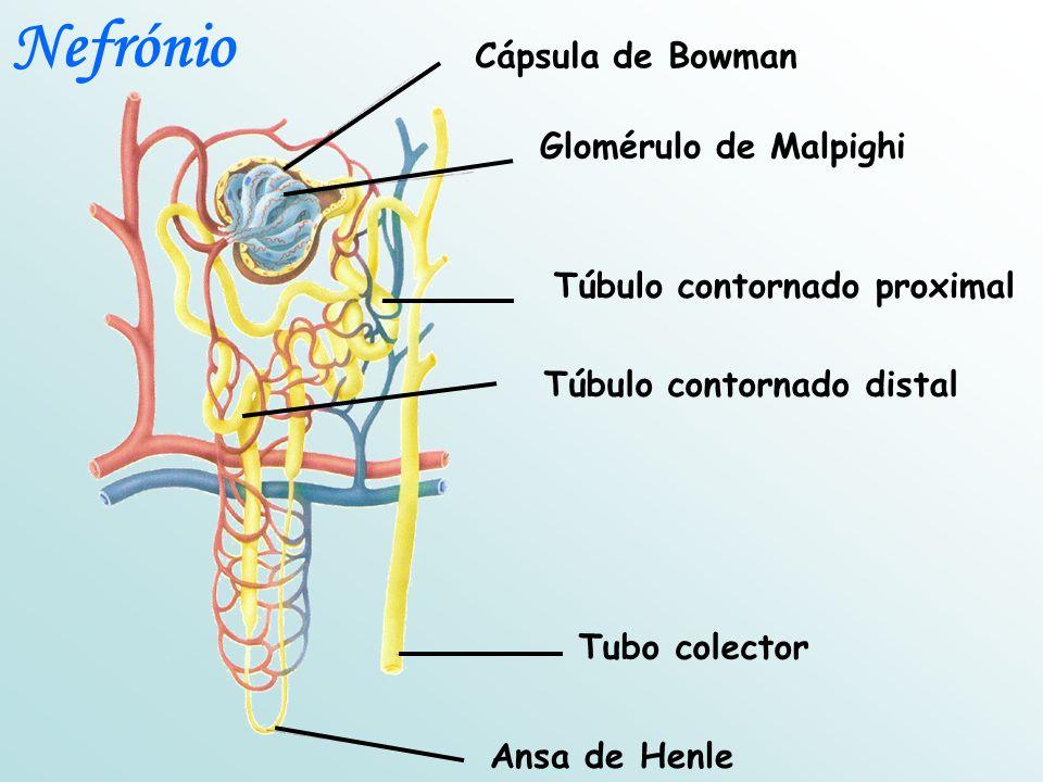 Cápsula de Bowman Glomérulo de Malpighi Túbulo contornado proximal Túbulo contornado distal Tubo colector Ansa de Henle Nefrónio