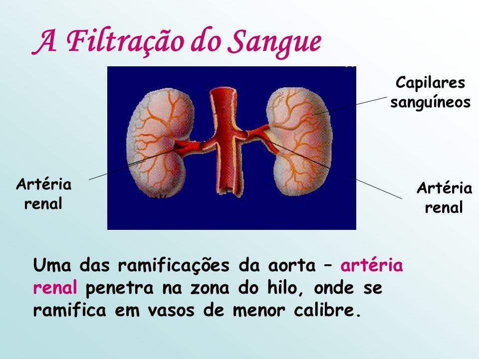 A Filtração do Sangue Artéria renal Capilares sanguíneos Uma das ramificações da aorta – artéria renal penetra na zona do hilo, onde se ramifica em va