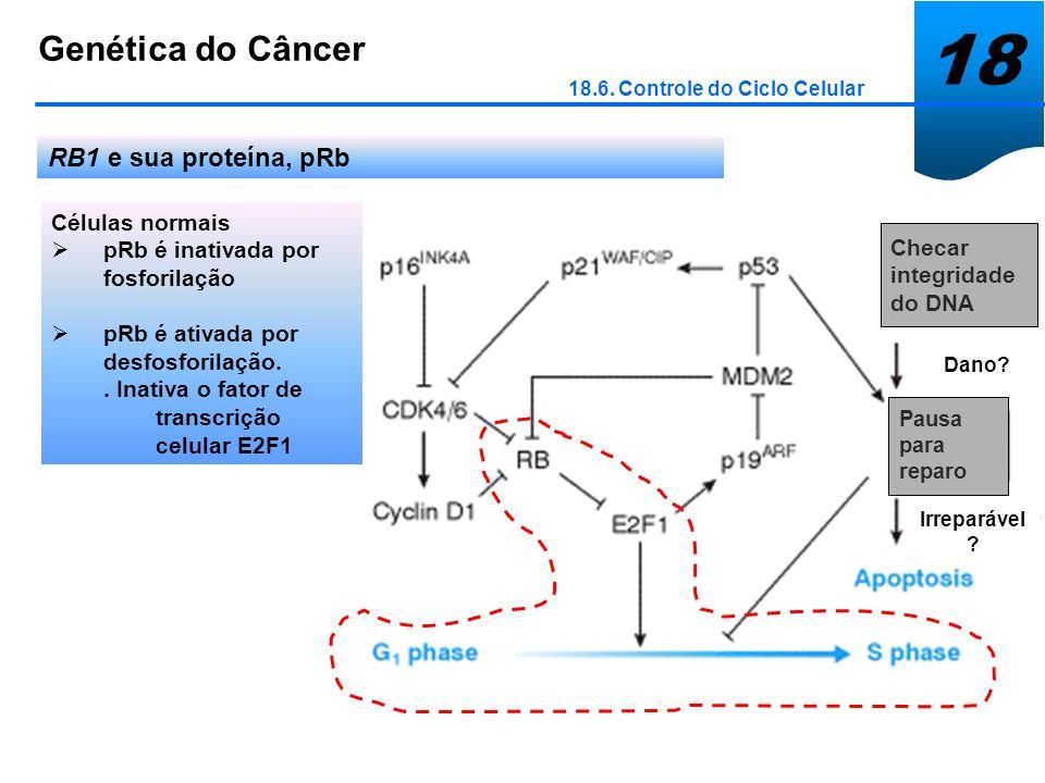 18 Genética do Câncer 18.6. Controle do Ciclo Celular RB1 e sua proteína, pRb Células normais pRb é inativada por fosforilação pRb é ativada por desfo