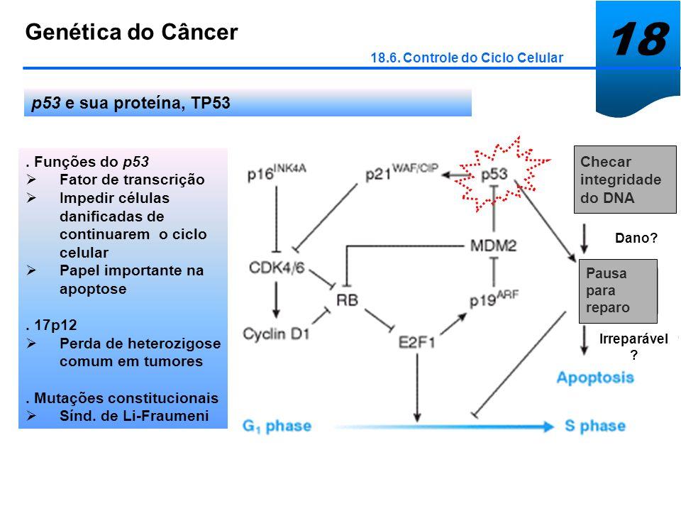 18 Genética do Câncer 18.6. Controle do Ciclo Celular p53 e sua proteína, TP53. Funções do p53 Fator de transcrição Impedir células danificadas de con