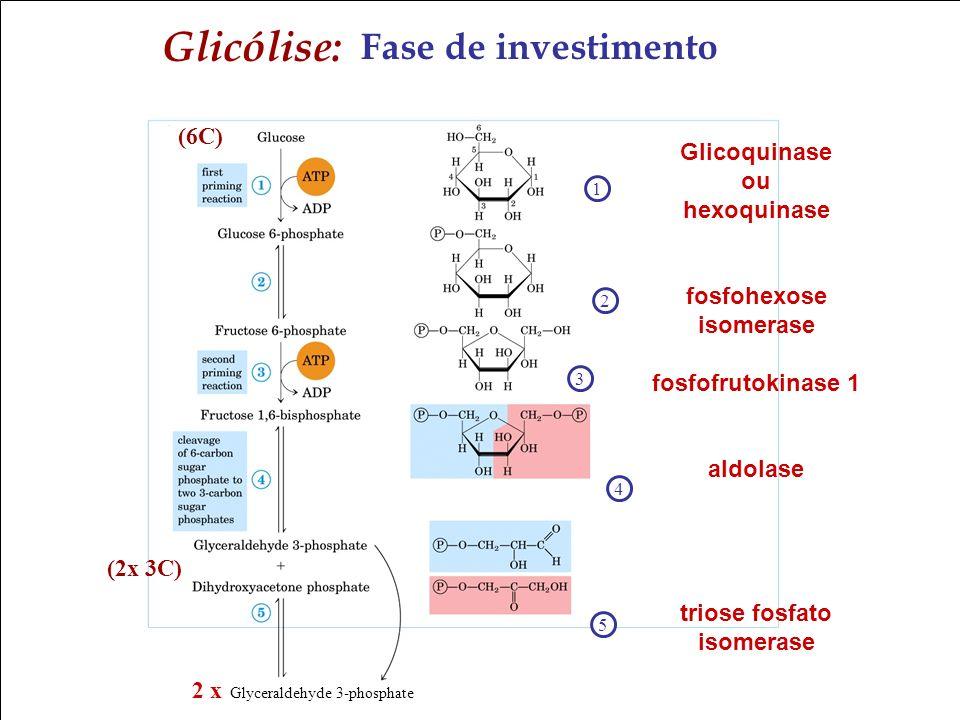 Bioquímica II – Prof. Júnior Fase de investimento Glicólise: 1 2 3 4 2 x Glyceraldehyde 3-phosphate Glicoquinase ou hexoquinase fosfohexose isomerase