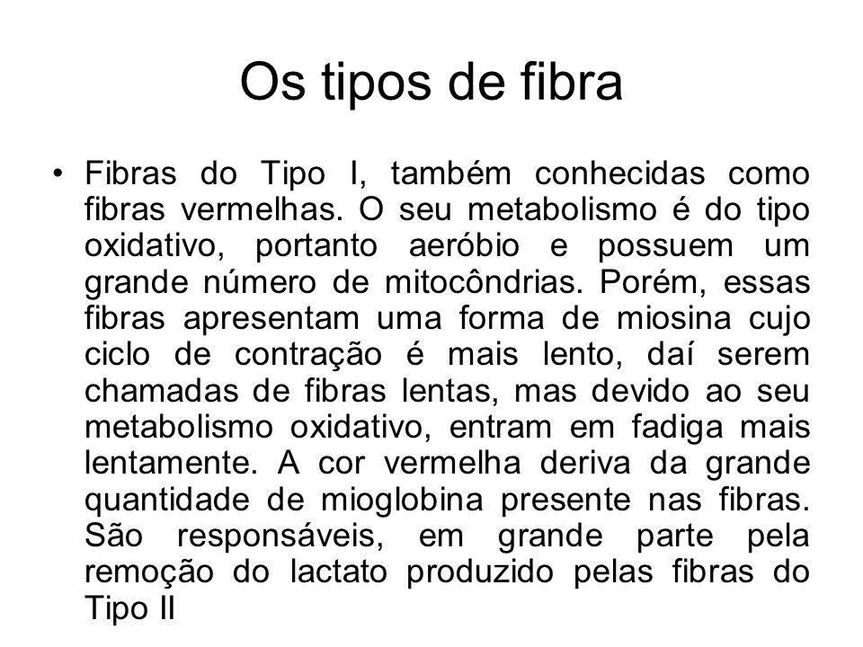 Os tipos de fibra Fibras do Tipo I, também conhecidas como fibras vermelhas. O seu metabolismo é do tipo oxidativo, portanto aeróbio e possuem um gran