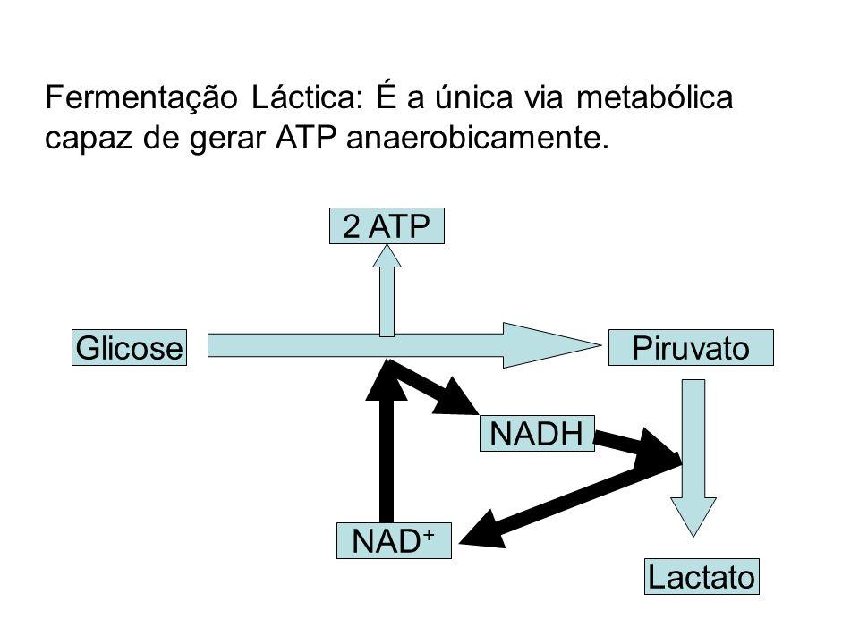 Fermentação Láctica: É a única via metabólica capaz de gerar ATP anaerobicamente. GlicosePiruvato 2 ATP Lactato NAD + NADH