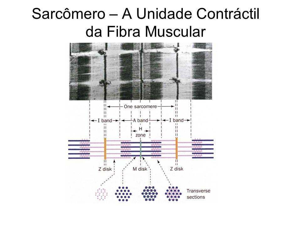 Sarcômero – A Unidade Contráctil da Fibra Muscular