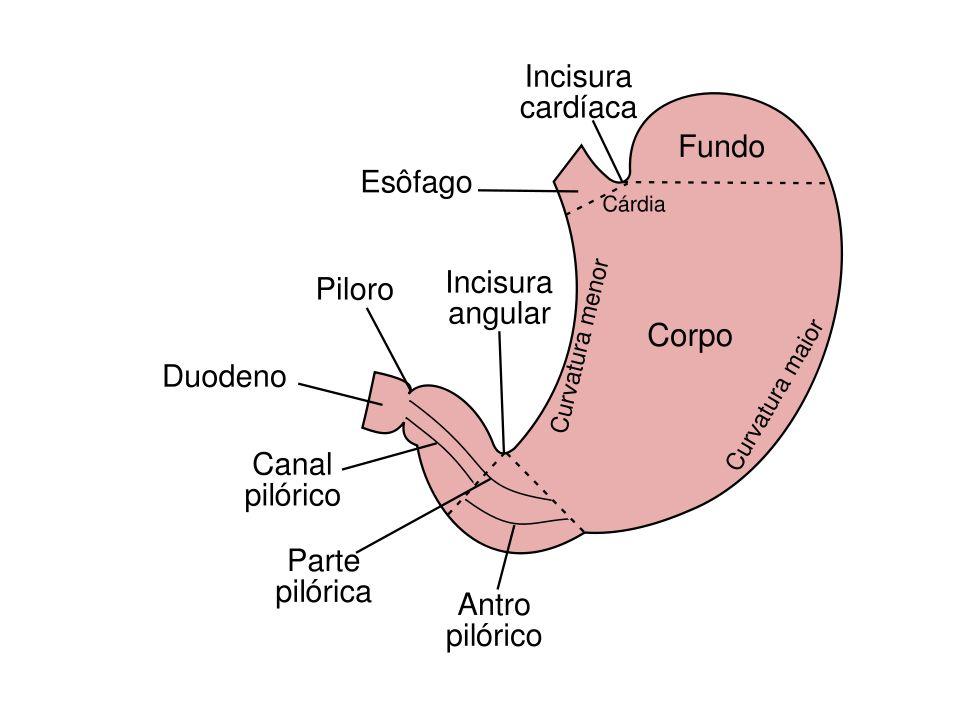 Sistema Digestório 6. ESTÔMAGO - O estômago é um alargamento do TGI, em forma de J, imediatamente abaixo do músculo diafragma. -Estrutura do estômago:
