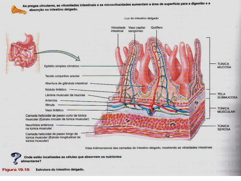 (Saladin, Anatomy and Physiology, Cap. 24, 2002, McGraw Hill)Saladin