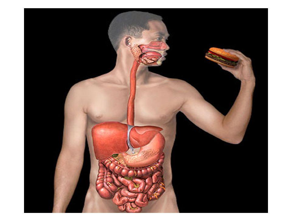 Sistema Digestório Sumário: -Introdução -Visão Geral do SD -Camadas do TGI e do omento -Boca -Faringe e esôfago -Estômago -Pâncreas -Fígado e vesícula