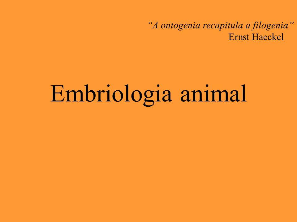 Embriologia animal A ontogenia recapitula a filogenia Ernst Haeckel