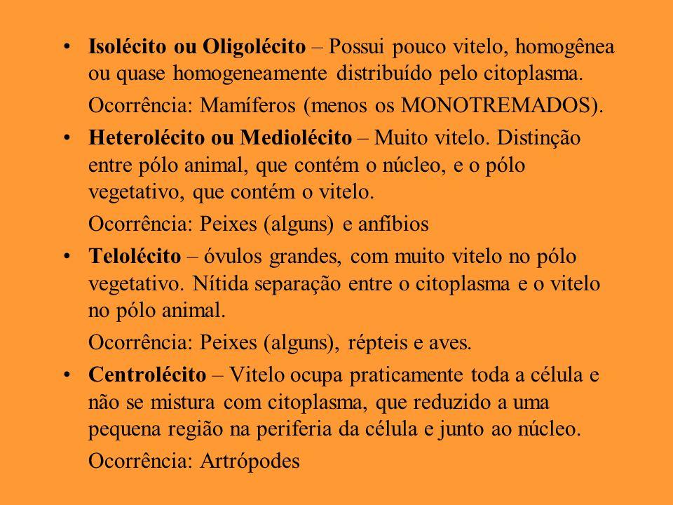 Isolécito ou Oligolécito – Possui pouco vitelo, homogênea ou quase homogeneamente distribuído pelo citoplasma. Ocorrência: Mamíferos (menos os MONOTRE