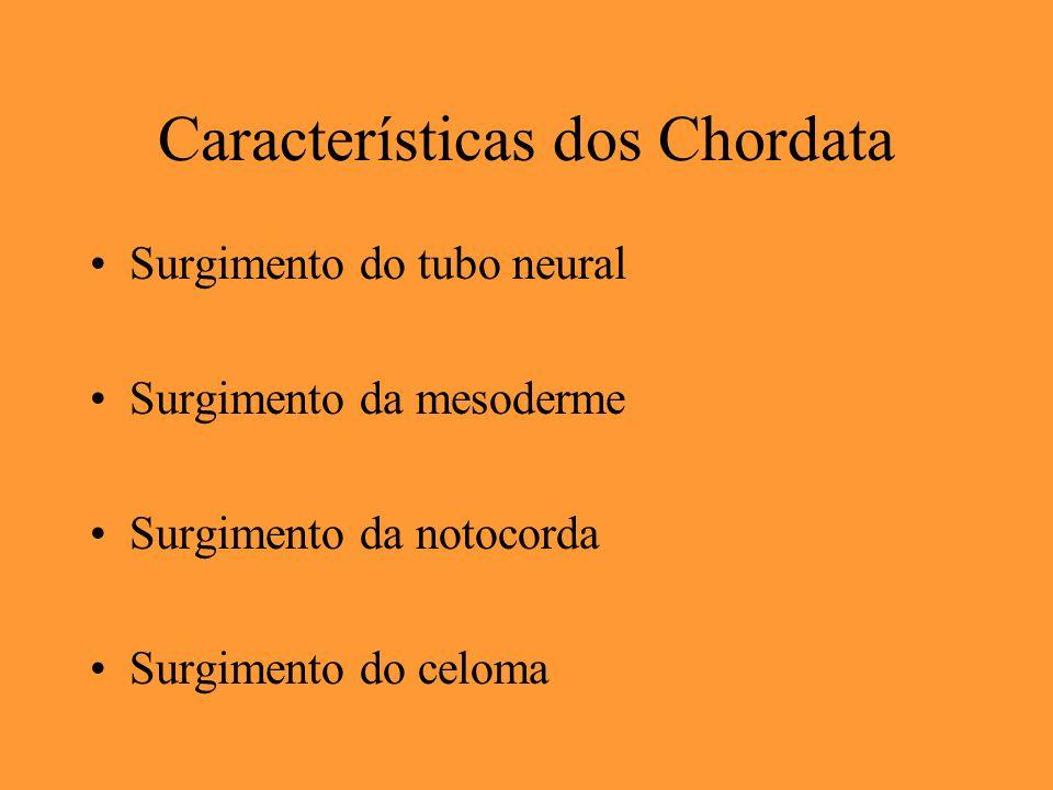 Características dos Chordata Surgimento do tubo neural Surgimento da mesoderme Surgimento da notocorda Surgimento do celoma