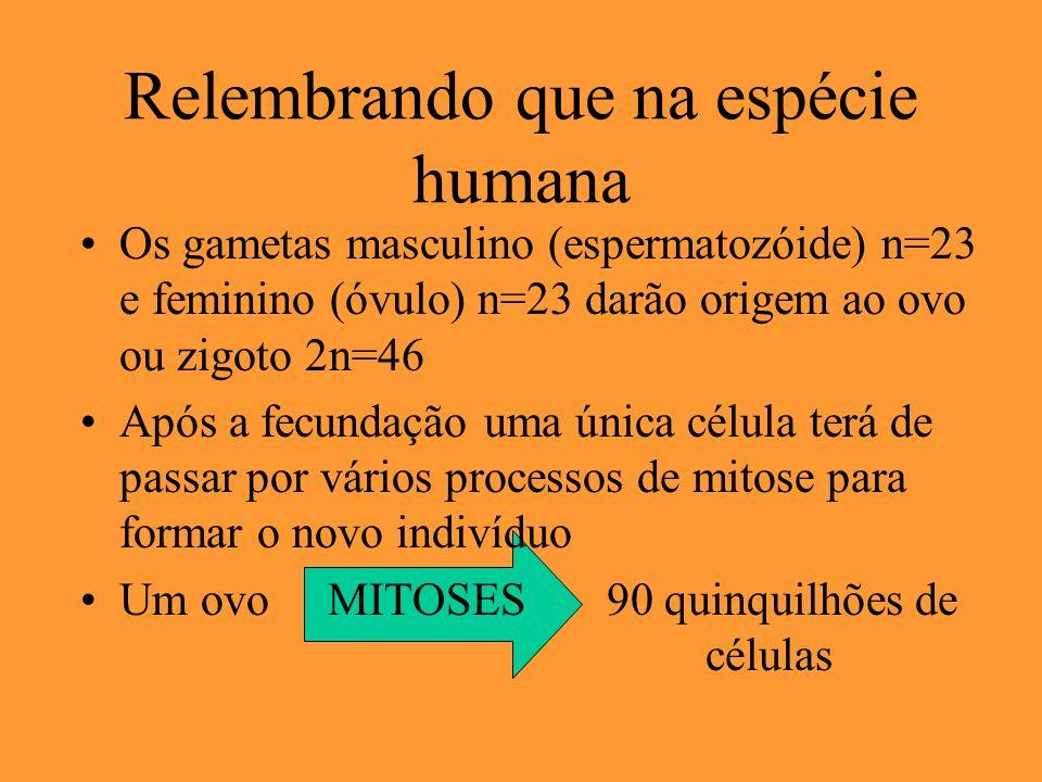Relembrando que na espécie humana Os gametas masculino (espermatozóide) n=23 e feminino (óvulo) n=23 darão origem ao ovo ou zigoto 2n=46 Após a fecund