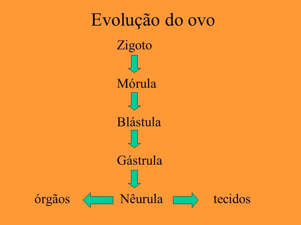 Cordão umbilical Origina-se a partir do pedúnculo embrionário.