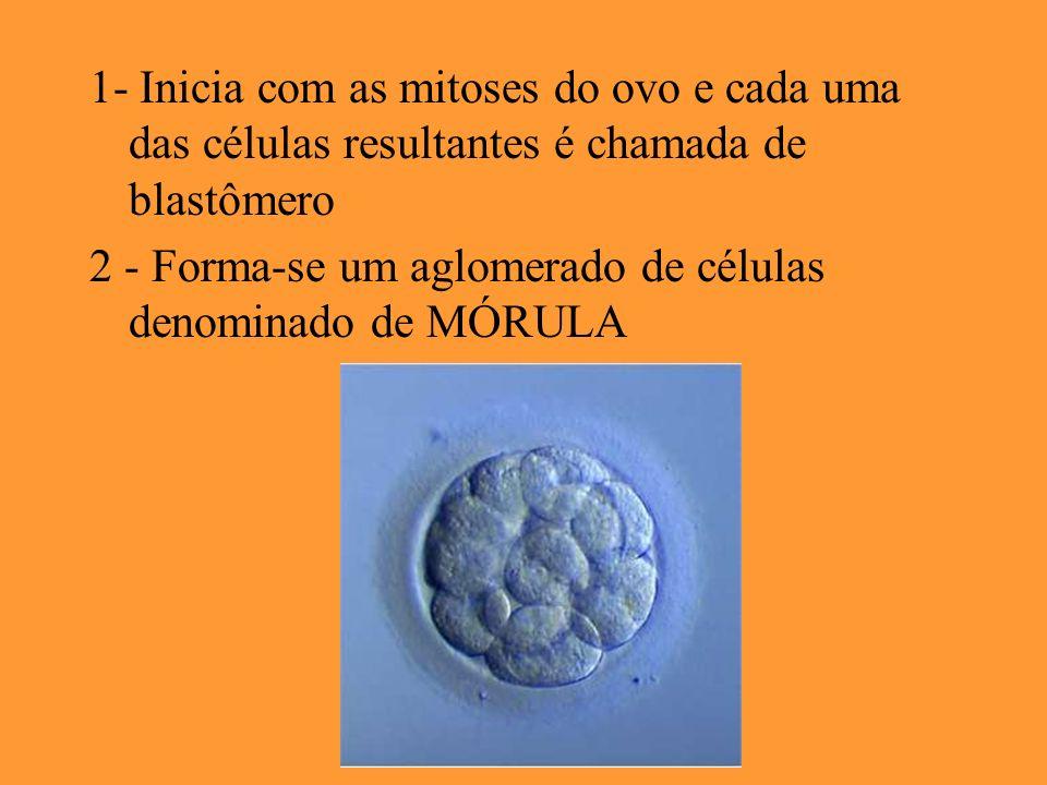 1- Inicia com as mitoses do ovo e cada uma das células resultantes é chamada de blastômero 2 - Forma-se um aglomerado de células denominado de MÓRULA
