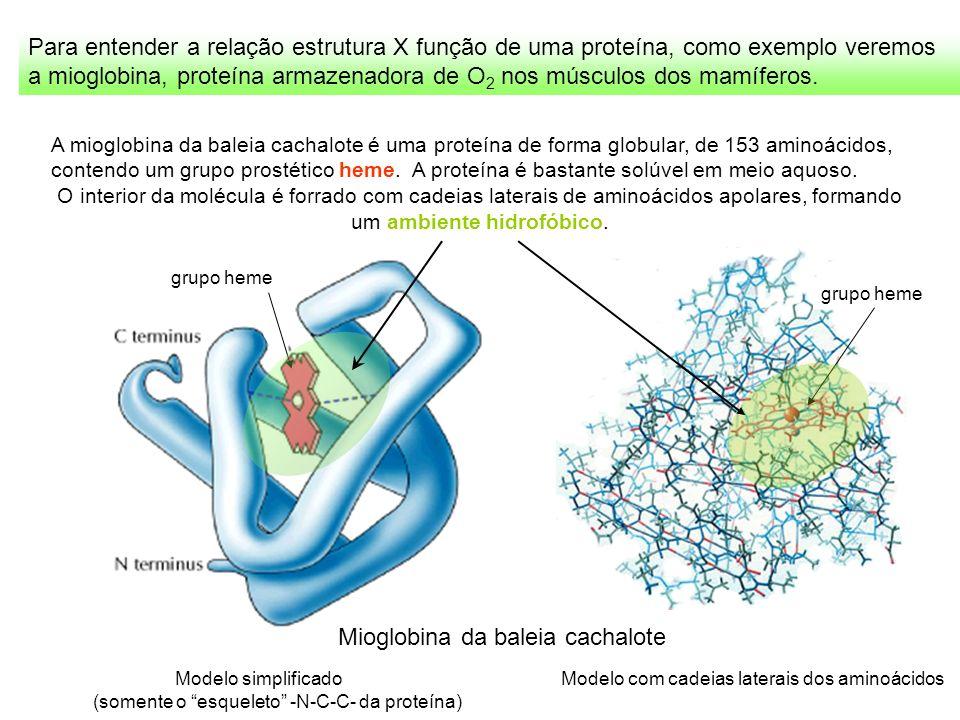 Para entender a relação estrutura X função de uma proteína, como exemplo veremos a mioglobina, proteína armazenadora de O 2 nos músculos dos mamíferos